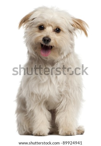 Small dog sitting and panting in front of white background - stock photo