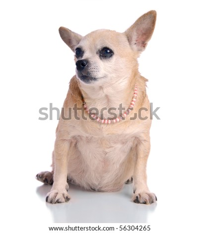 Small dog sitting, on white background.