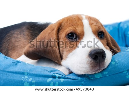 Small dog sleeping on its place. Beagle puppy - stock photo