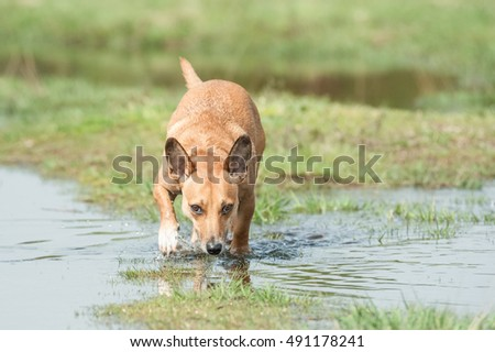 small dog sniffing a trail through water