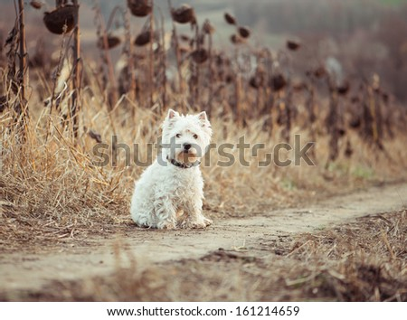 Small dog  walks in the autumn field - stock photo