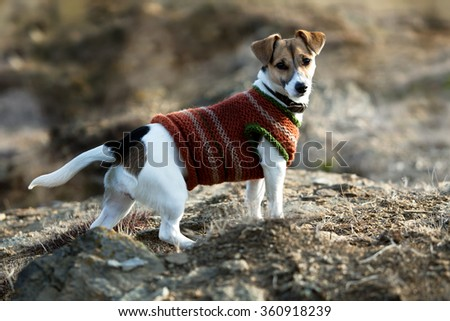 Small dog wears hoodie. Jack Russell Terrier posing at red coat