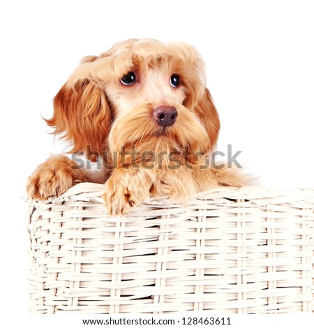 Small doggie. Decorative thoroughbred dog. Puppy of the Petersburg orchid. Doggie in a basket.