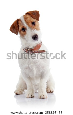 Small doggie of breed a Jack Russell Terrier sits on a white background - stock photo