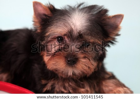 small doggie with a female handbag, on a blue background.