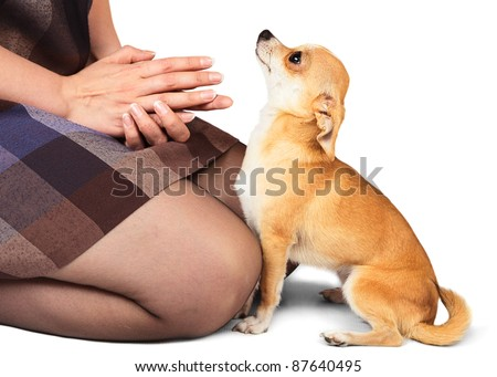 Small domestic dog Chihuahua looking to woman - stock photo
