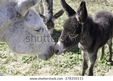 Small donkey with his mother in farm animals - stock photo