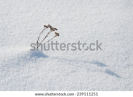 small dry plant peeping out of the snow - stock photo