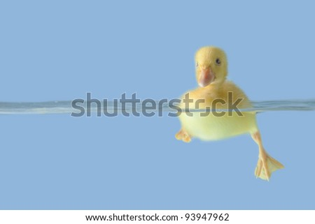 Small duck floating on water isolated over blue background - stock photo
