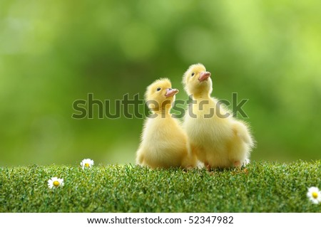 small duck who discovers life - stock photo