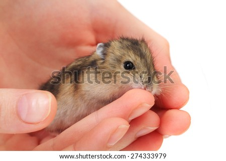 small dzungarian mouse in the human hand - stock photo