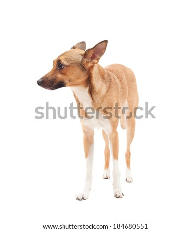 small elegant dog golden color on a white background isolated