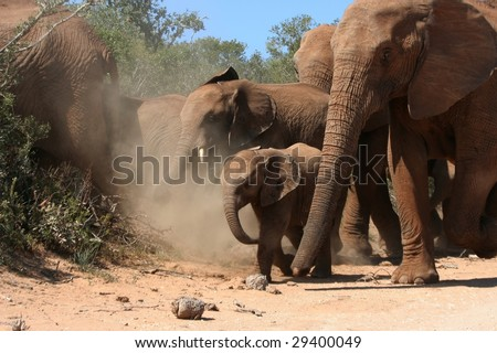 Small elephant baby walking amongst the herd - stock photo