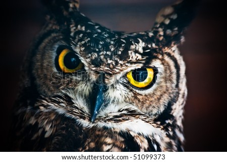 Small European owl, nocturnal bird of prey with hawk-like beak and claws and large head with front-facing eyes - stock photo