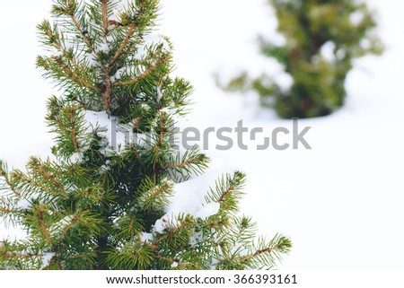 Small Evergreen Trees in Snow
