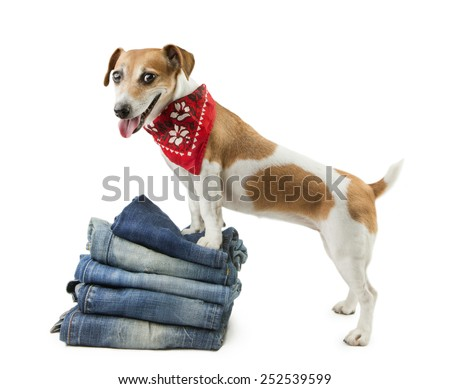 Small fashionable denim dog in the set of jeans things - stock photo