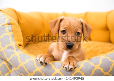 Small Fawn Colored Mixed Breed Puppy in Bed Big Enough to Grow Into - stock photo