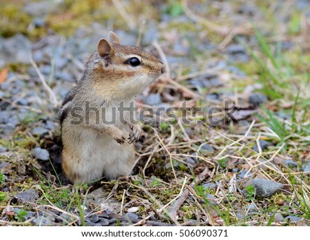 Small female chipmunk outside of her burrow