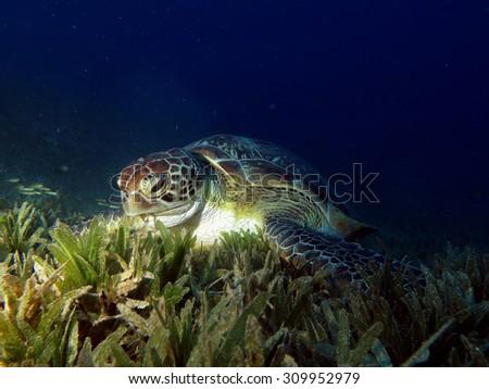 Small female green sea turtle feeding on seagrass - stock photo