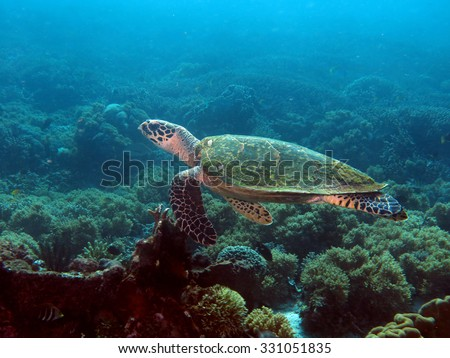 Small female hawksbill turtle swimming over a shallow reef