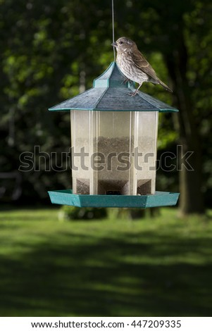 small female purple finch on top of bird feeder