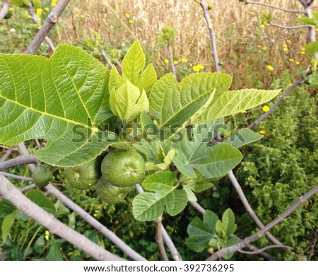 Small figs on a fig tree in Malta