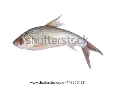 Small fish isolated on white background, Henicorhynchus - stock photo