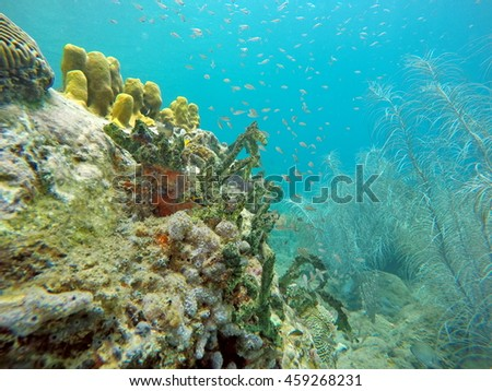 Small fish on the side of a coral head, in front of sea plants, off the coast of Saint Lucia
