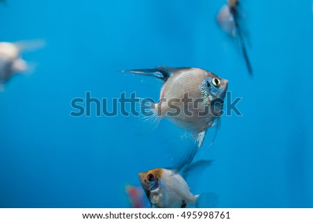 Small fish with a big tail in aquarium