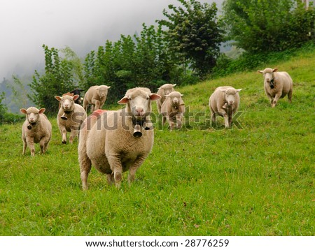 Small flock of sheep in Swiss Alps