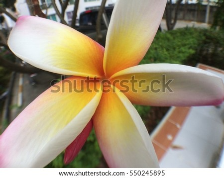 Small Flower Plumeria white