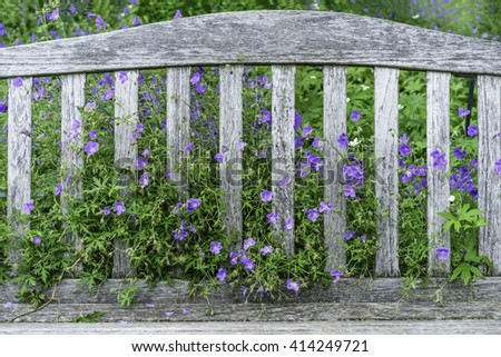 Small flowers and dense foliage of Brookside cranesbill (binomial name: Geranium 'Brookside') growing through back of garden bench early in summer - stock photo
