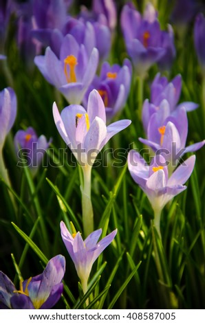 small flowers of crocus close-up on a green stalk  - stock photo