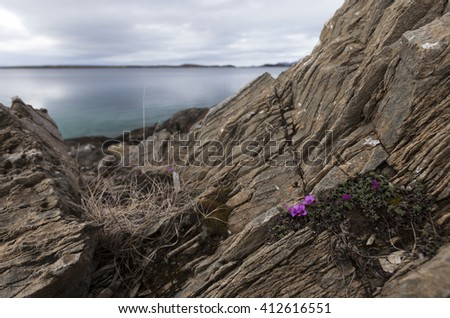 Small flowers of purple saxifrage appear in April at the coastal rocks in Helgeland, Nordland, Norway. - stock photo