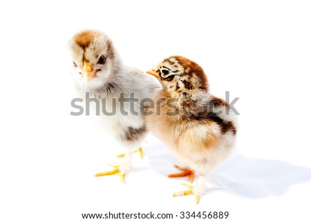 Small fluffy chickens on a white background isolated - stock photo