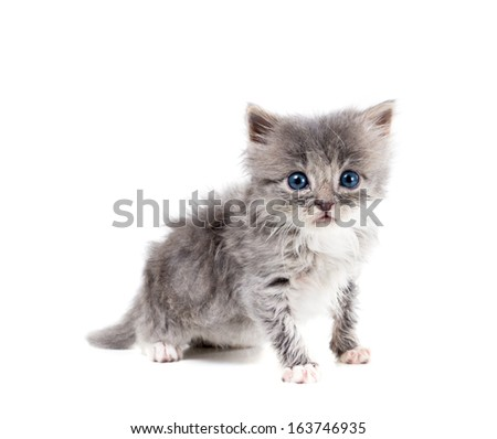 Small fluffy gray kitten with blue eyes wide open - stock photo