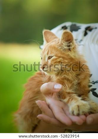 Small fluffy kitten on hands of mistress. - stock photo