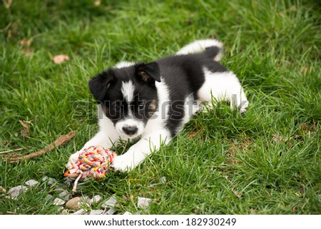 Small Fluffy Puppy Playing Outside with Rope Ball on Green Grass - stock photo