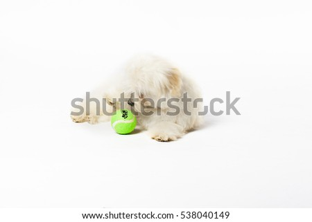 Small fluffy Shitsu puppy portrait playing with a toy shot in studio on a white background
