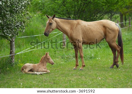 Small foal with mum on a green meadow - stock photo