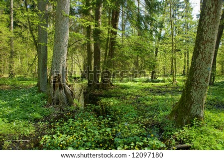 Small forest river crossing alder forest at springtime wit marsh marigold flowers in foreground - stock photo