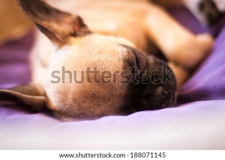 small French bulldog - stock photo