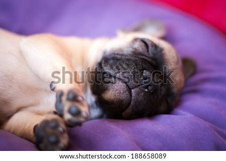 small French bulldog, puppy dog - stock photo