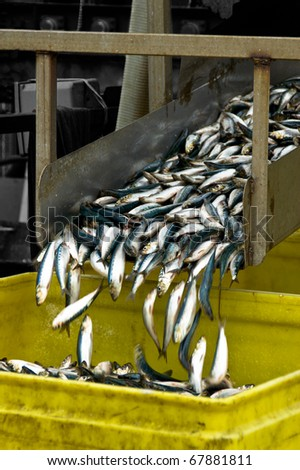 Small fresh fish slide down a chute and into a bucket - stock photo
