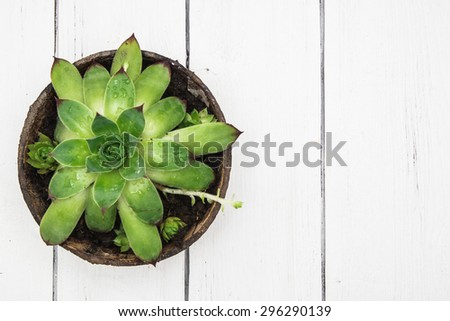Small fresh green succulent in a little wooden pot top view on a white wooden background. Workplace decor. Scandinavian interior - stock photo