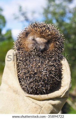 Small frightened hedgehog in a hand in a working mitten - stock photo