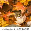 Small frog in autumn leaves in a river with its head peeping above the water surface - stock photo