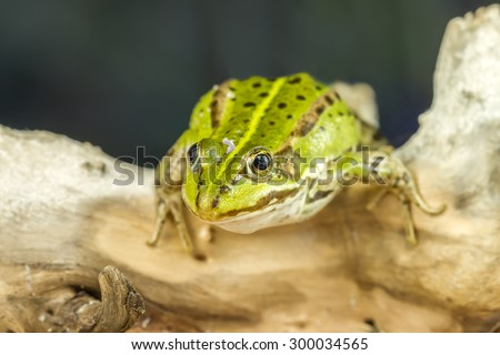 Small frog Ready To Hunting - stock photo