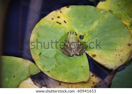 Small frog sitting on a Lily pad