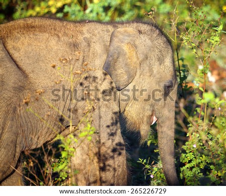 small fun indian baby elephant in jungle - stock photo